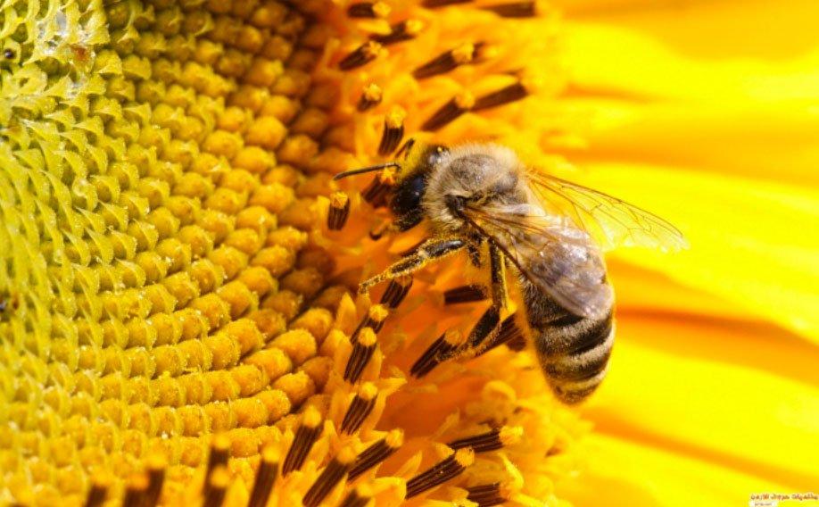 ماذا لو اختفى النحل كليًا!